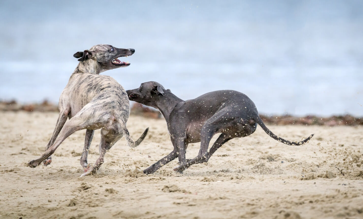 Are Dogs better In Pairs?