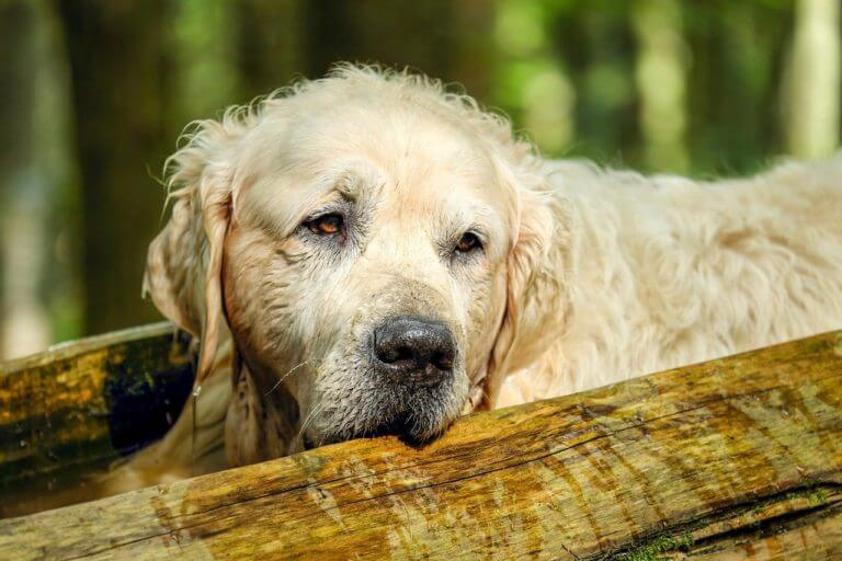 Can Dogs Get Dementia?
