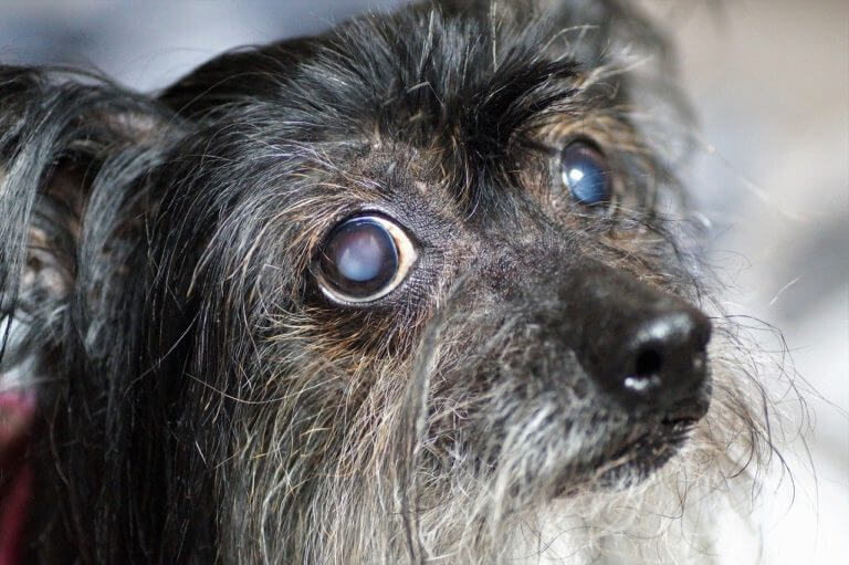 Can Dogs Go Blind?