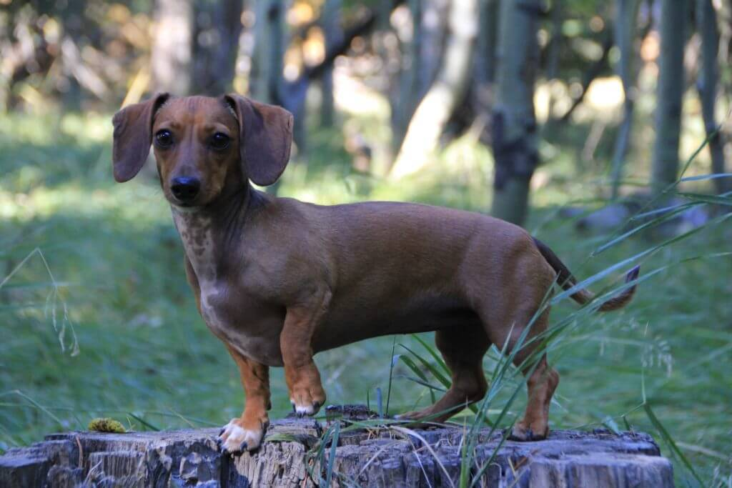 Is Barking Suitable For Dachshunds?