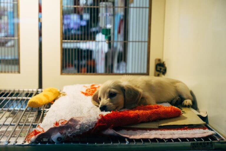 Do Dogs Get Lethargic After Shots?