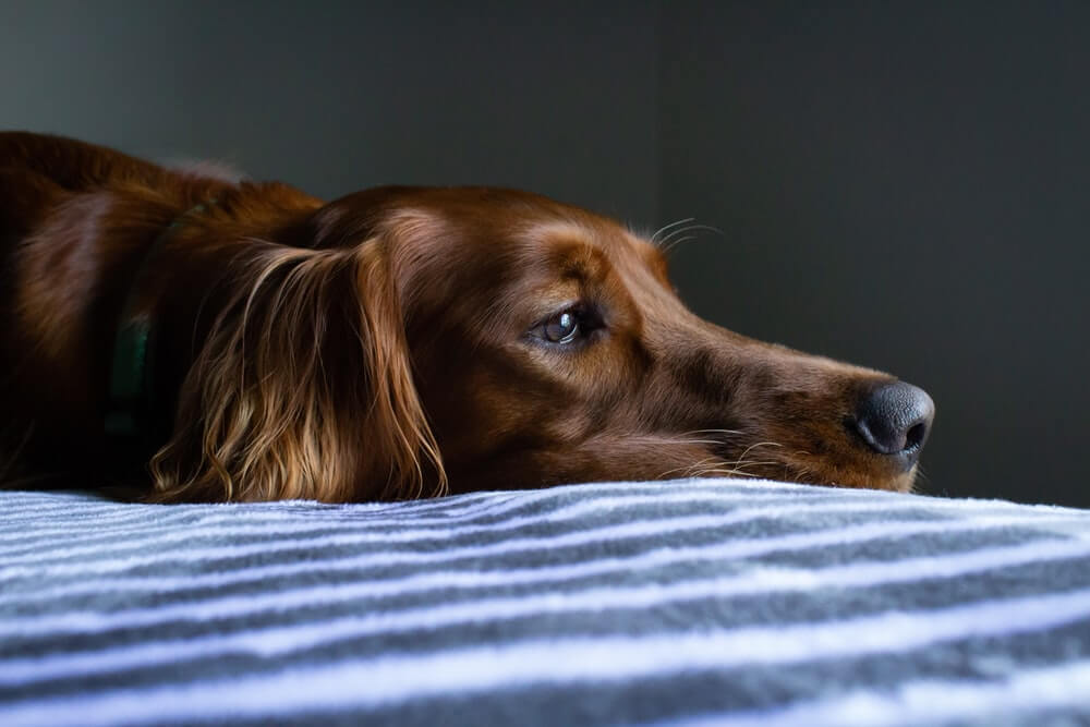 What Common Illnesses Do Dogs Get?