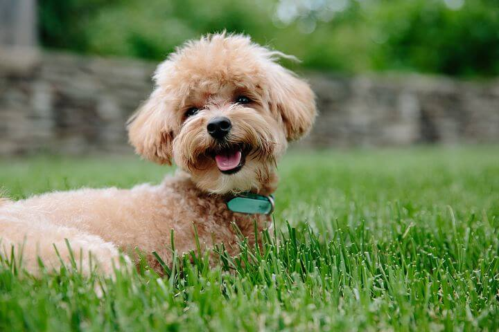 Which Breeds Need Haircuts?